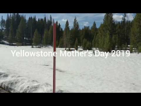 Yellowstone Mother's Day 2019 grizzly cubs, wolf, red dogs