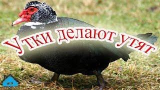 Селезень мускусной утки топчет свою уточку
