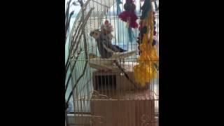 Секс попугаев