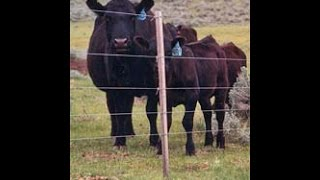 Cattle Ranch In Minnesota Uses Electric Fence From Gallagherelectricfencing.com