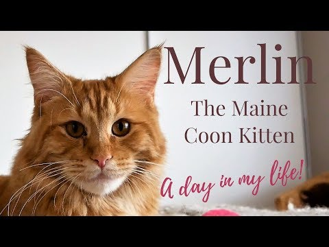 Merlin the Maine Coon Kitten (11 Months) - A day in MY LIFE!