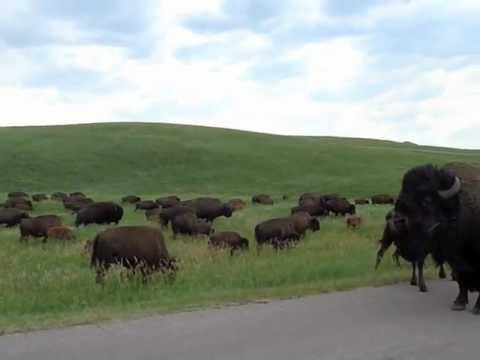 Riding our motorcycle amongst the Buffalo in Custer State Park South Dakota