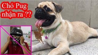 😝Chủ cải trang Chó Pug nhận ra không!!? Câu trả lời là đây ⏩ Pugk Vlog