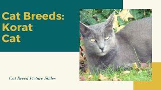 Korat Slides  Cat Breeds