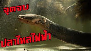 สิ่งมีชีวิต..3..ชนิด..ที่สามารถเอาชนะปลาไหลไฟฟ้าได้#ตามไปมอง