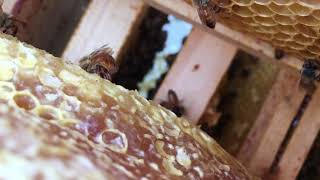 Honey Bees at work inside the hive.