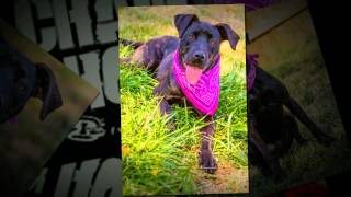 Cecelia The Pit Bull Terrier