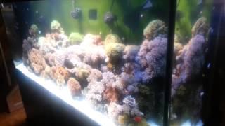 Video 220 gallon saltwater reef tank! Thriving! download MP3, 3GP, MP4, WEBM, AVI, FLV Oktober 2018