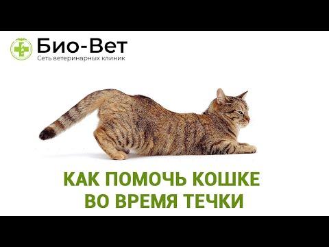 Как проходит течка у кошек