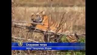 Спасение тигра в Индии