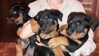 РОТВЕЙЛЕРЫ щенки  на продажу
