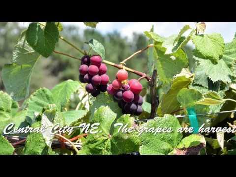 Harvesting Grapes at Prairie Creek Winery