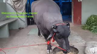 YUVRAJ (the Super Murrah Bull of the world) Relaxing at home after taking part in competitions.