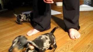 Dachshund Puppies Black Silver Dapples