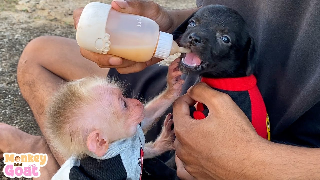 Baby monkey give milk to puppies