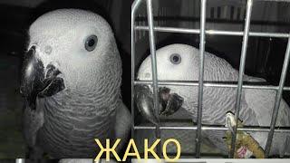 Попугай ЖАКО, ласковый как ребенок