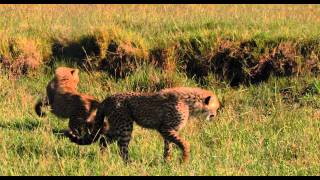 African Cats: African Morning - Clip
