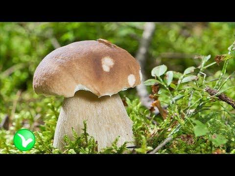 Шампиньоны: какая польза, и какой вред грибов для