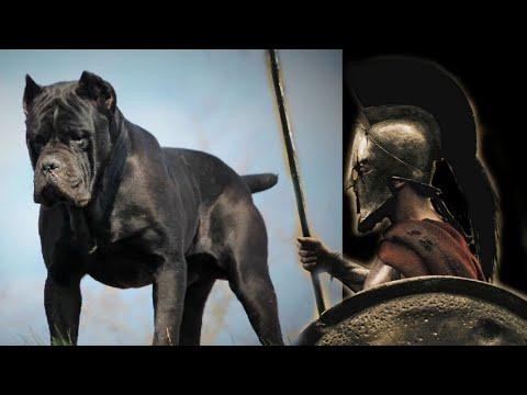 Cane Corso Dog Facts / Italian Mastiff Facts/ Roman War Dogs