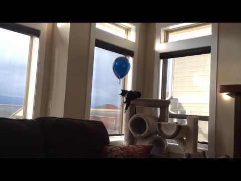 Cat vs Floating Balloon all fun and games until it gets too close