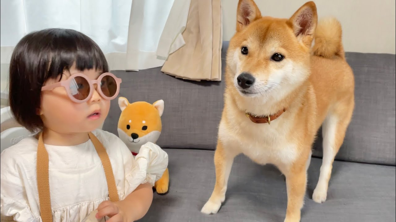 柴犬と2歳のおてんば娘とお留守番するとこうなります