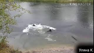 ПРИКОЛ  ура вода  лабрадори