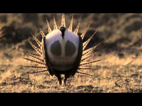 Body-popping sage grouse - Nature's Greatest Dancers: Episode 1 Preview - BBC One