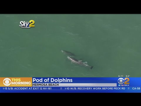 Pod Of Dolphins Spotted Swimming Off Hermosa Beach