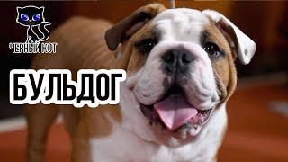 Бульдог английский / Интересные факты о собаках