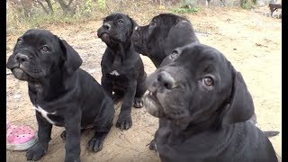 Cane Corso Dogs Are Bad Parents? | Kritter Klub