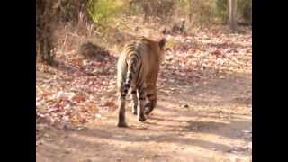 Very Thrilling Experience!! Badhgarh Tiger walking ahead and than turns back to us ,very thrilling