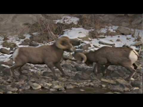 Bighorn Adaptations