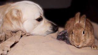 Golden Retriever First Meets Newborn Babу Rabbits