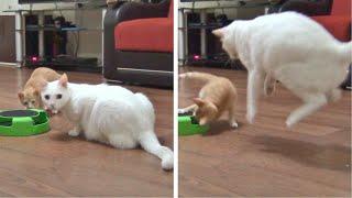 Kitten Loves Doing Surprise Attacks On The Older Cat !!
