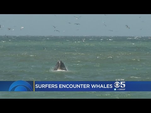 Surfers See Feeding Humpback Whales Up Close In Pacifica