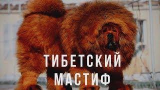 ТИБЕТСКИЙ МАСТИФ - ВСЕ О ПОРОДЕ.