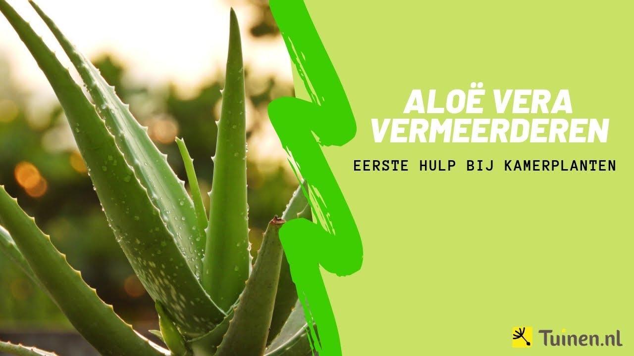 Aloe vera vermeerderen  Eerste Hulp Bij Kamerplanten