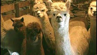 Alpaca Farming, A Dramatic Lifestyle Change