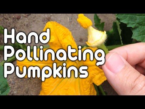 Hand Pollinating Pumpkins!