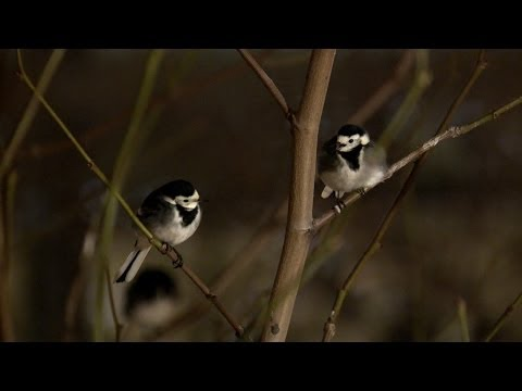 Pied wagtails shelter at Heathrow airport - The Great British Year: Episode 4 Preview - BBC One