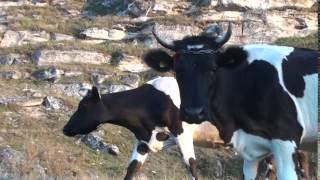 I-au pus botniță să nu mai pape lapte #Trebujeni