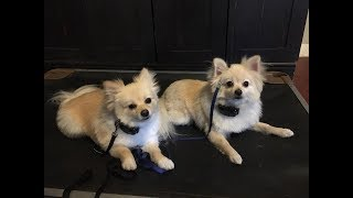 Two reactive & fearful Pomeranians transformed | Perfect Companion K9