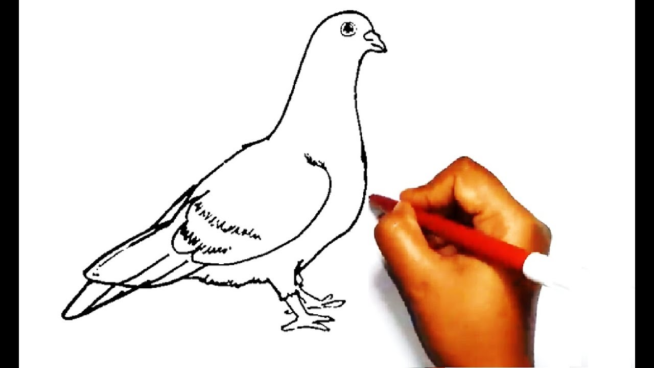 How To Draw A Pigeon Easy Drawing कब तर क च त र