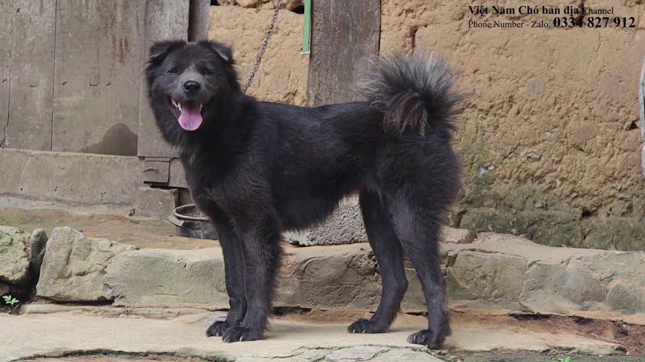 Chó Bắc Hà xù hoang dã/MÀU LÔNG XÁM ĐÁ/Việt nam Chó bản địa