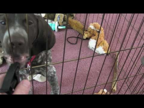 German Shorthaired Pointer Puppy Needs Fuel!