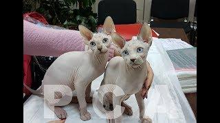 Котята канадский сфинксы питомника кошек PCA КЕН КЕЦ