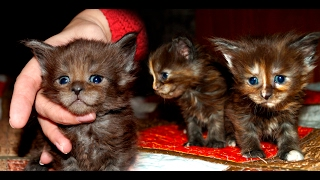 "Котята мейн кун онлайн. Maine Coon cattery ""Lovitven"" online - Saint Petersburg Russia."