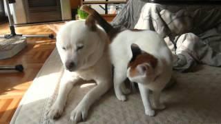 保護犬風ちゃんに、妹ができました。 家の庭に隠れていた、元野良猫のミ...