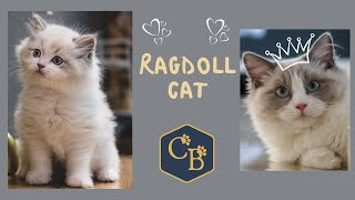 The Ragdoll Cat  One of the World's Most Affectionate Cats