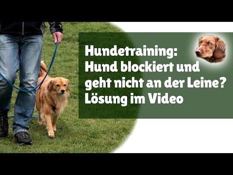 Hundetraining ► Hund blockiert und geht nicht an der Leine? Lösung im Video